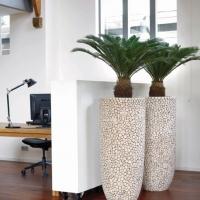 Cycad Palms