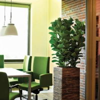 Fiddle Fig Plant