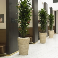 Banana Plants for Office Environment