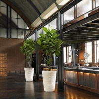 Banana Plants For Office
